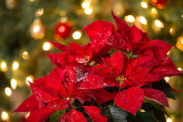 Grasshoppers_Holiday_Poinsettias