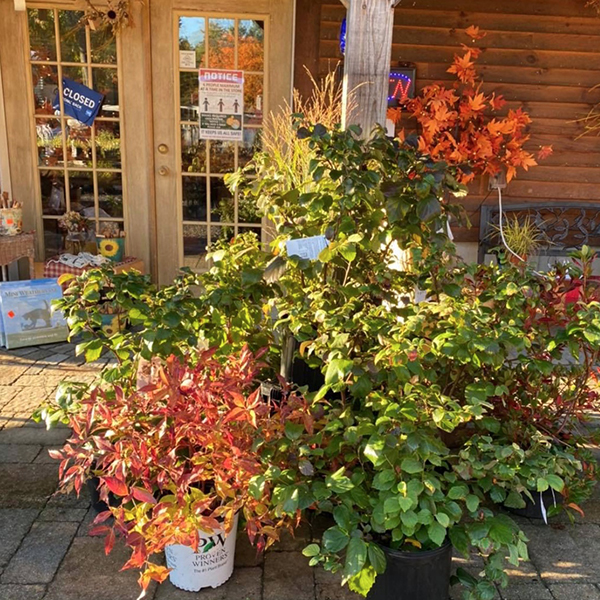 Deciduous shrubs and tree for fall color