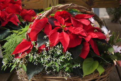 Holiday Poinsettias for Milford NH